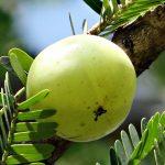 Amla aka Indian Gooseberry