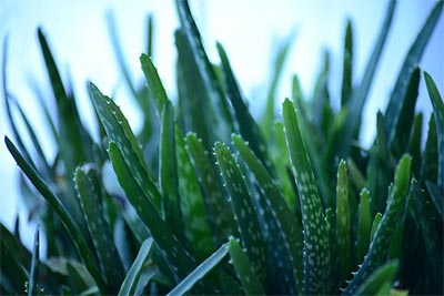 Aloe Vera the Medicinal Plant with Amazing Remedies