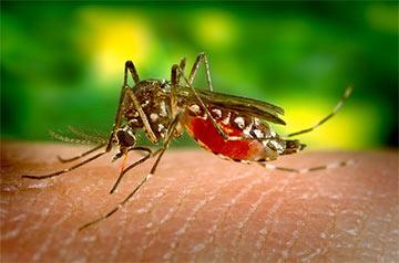 Aedes_aegypti_feeding-dengue-mosquito