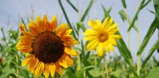 Sunflower-Contact With Nature