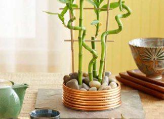 A Bright Lucky Bamboo Plant Arrangement