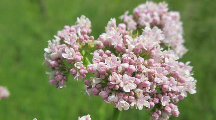 Valerian flowering plant