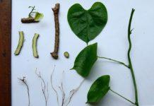 Tinospora cordifolia - Amrit