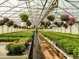 Chrysanthemums plants growing indoor garden